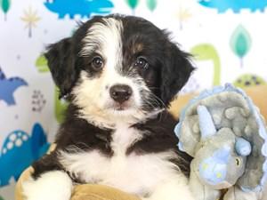 Aussie Poo-DOG-Female-blk/wh-3287508
