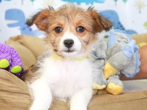 Corgi Poo-DOG-Female-brown/white-3286884