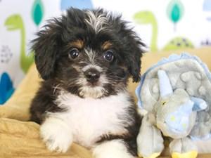 Aussie Poo-DOG-Female-tri-3287506