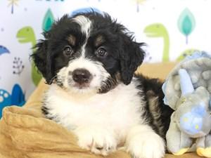 Aussie Poo-DOG-Female-blk/wh-3287509