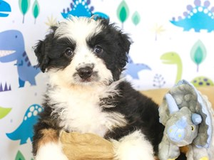 Aussie Poo-DOG-Male-blk/wh-3287504