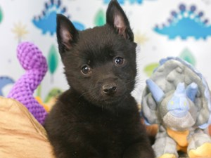 Schipperke-DOG-Male-BLACK-