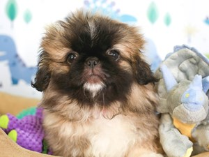 Pekingese-DOG-Female-Fawn Sable-