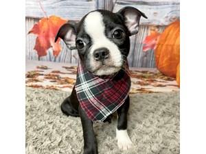 Boston-Terrier-DOG-Male-3277078