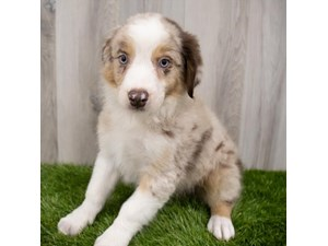 Australian-Shepherd-DOG-Male-3293175