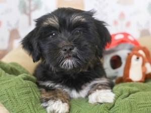 Havanese-DOG-Male-black & white & tan-