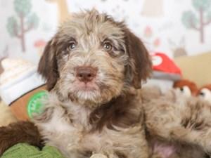 Labradoodle-DOG-Male-CHOC MERLE-