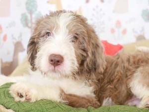 Labradoodle-DOG-Male-CHOC MRL PARTI-