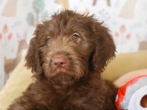 Labradoodle-DOG-Male-CHOCOLATE-