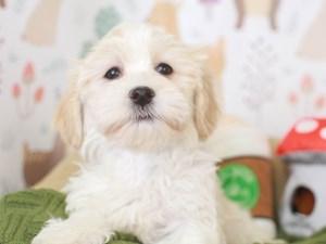 Havanese-DOG-Female-white & gold-