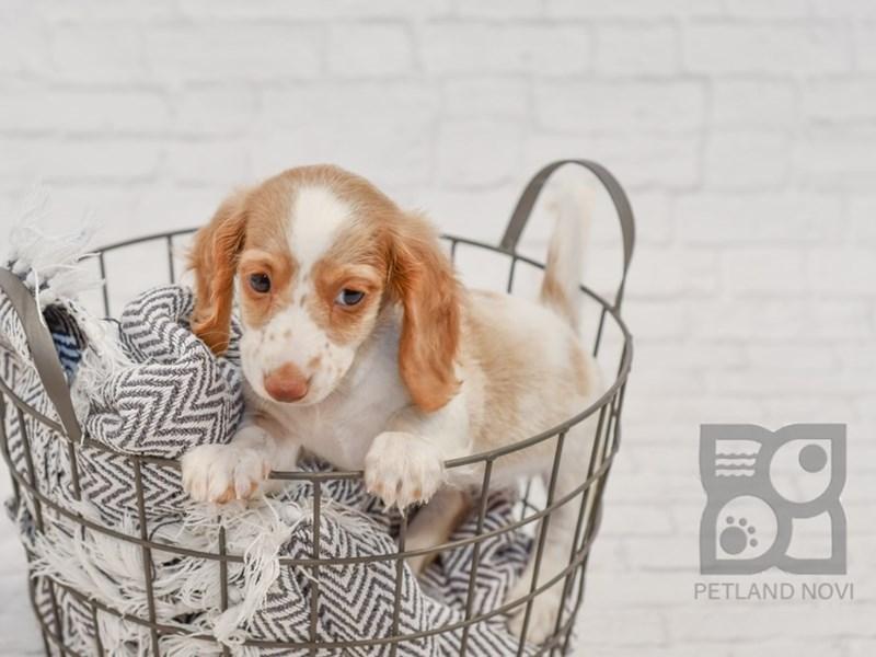 Dachshund-DOG-Female-Fawn & White-3295949