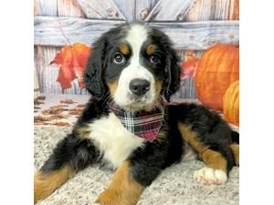 Bernese-Mountain-Dog-DOG-Female-3293536