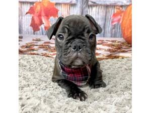 French-Bulldog-DOG-Male-3293169