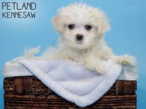 Maltese-DOG-Male-3294504