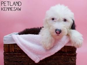 Old-English-Sheepdog-DOG-Female-3294464