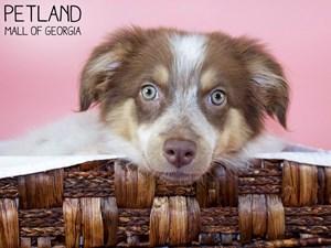 Australian-Shepherd-DOG-Female-3275299