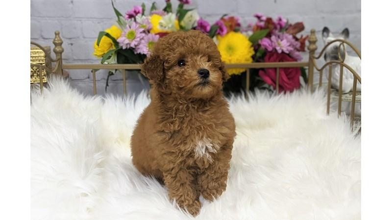 Grand Rapids Miniature Poodle Puppies