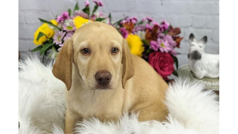 Grand Rapids Labrador Retriever Puppies