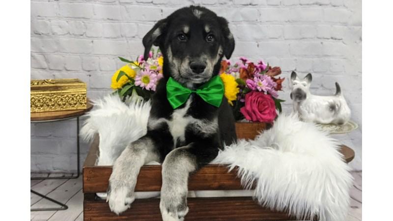 Grand Rapids Husky/goldendoodle Puppies