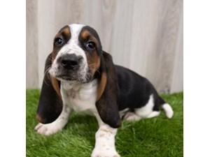 Basset-Hound-DOG-Male-3302955