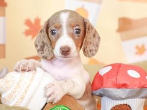 Dachshund-DOG-Female-red dapple piebald-