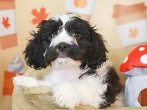 Cavachon-DOG-Male-Black and White-