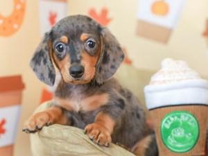 Dachshund-DOG-Male-blue dapple-
