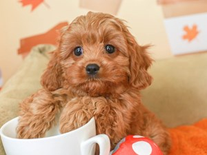 Cavapoo-DOG-Male-Red-