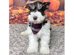 Miniature-Schnauzer-DOG-Male-3302903