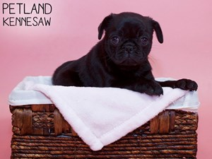 Pug-DOG-Female-3302986