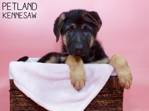 German-Shepherd-DOG-Female-3302514
