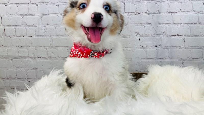 Grand Rapids Minature Australian Shepherd Puppies
