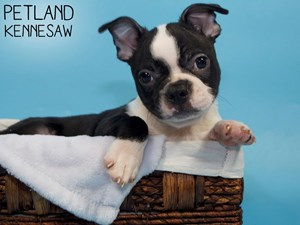 Boston-Terrier-DOG-Male-3302719