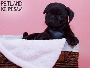 Pug-DOG-Female-3312096
