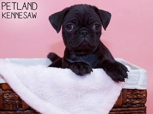 Pug-DOG-Female-3312113