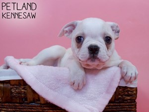 Boston-Terrier-DOG-Female-3311976