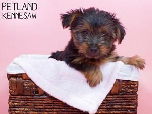 Yorkshire-Terrier-DOG-Female-3311981