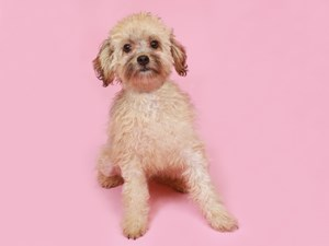 Havapoo-DOG-Male--3191919