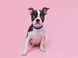 Boston Terrier-DOG-Female-Blk/Wh-3201995
