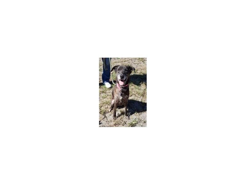 AAP Shepherd Mix-DOG-Female-Brindle-1084514-img4