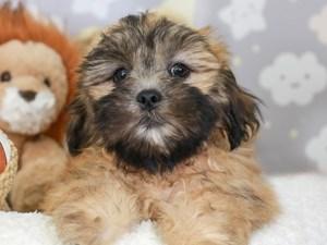 Lhasa Apso-DOG-Male-Brown-