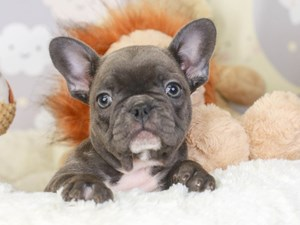 French Bulldog-DOG-Female-Blue-
