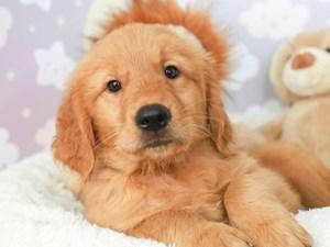Golden Retriever-DOG-Male-gold-
