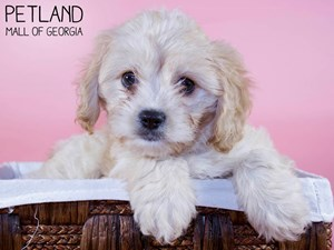 Cavachon-DOG-Female-3321132