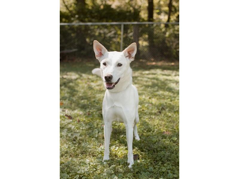 Husky Mix-DOG-Female-Cream-2767140-img3