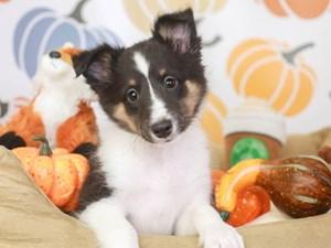 Shetland Sheepdog-DOG-Female-blk tri-