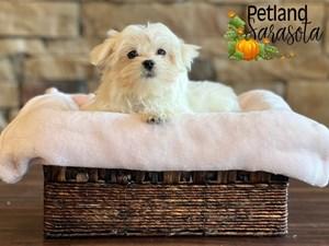 Maltese-DOG-Female-3334157