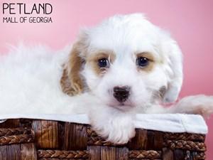 Cavachon-DOG-Female-3329926