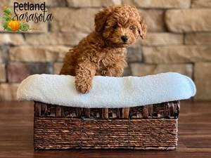 Miniature-Poodle-DOG-Male-3343305