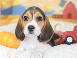 Beagle-DOG-Female-TRI-